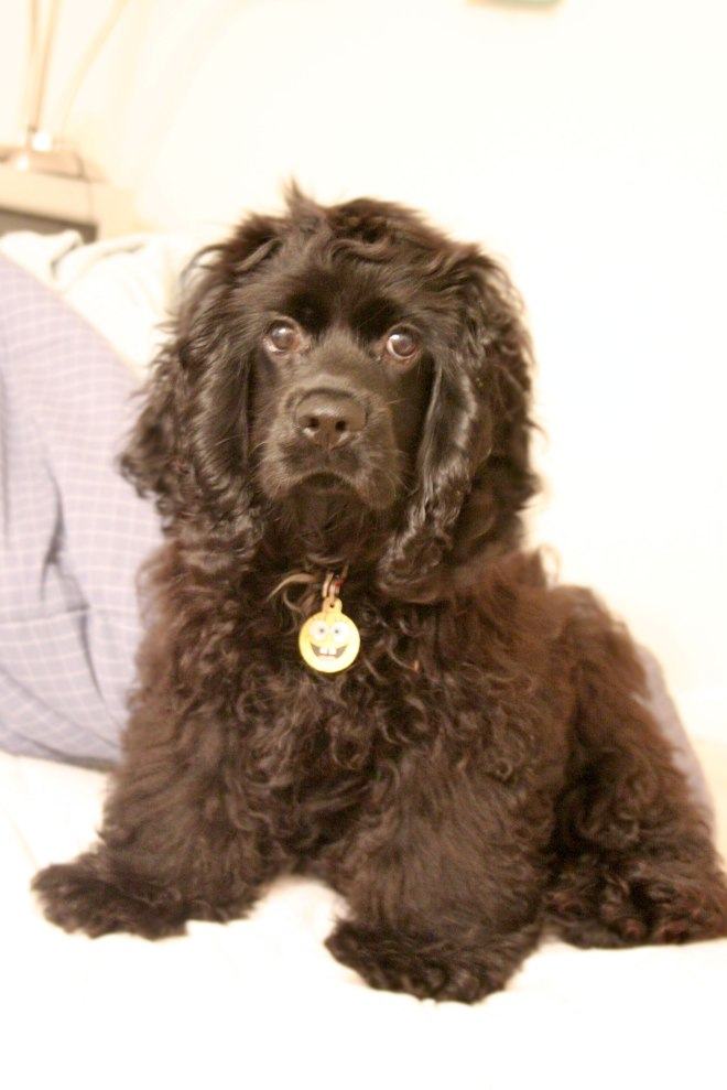 American_Cocker_Spaniel_black_sitting